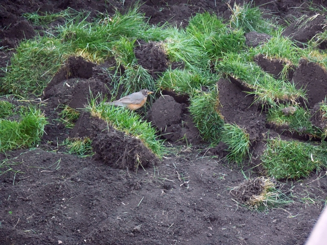 The grass was dug up, and the robins had a field day hunting worms. worms