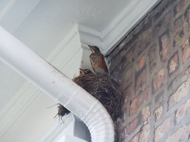 Young robins are speckled, and at this point, are almost as big as their parents!