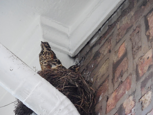 This guy must have hatched first. He was always perching on the edge of the nest.