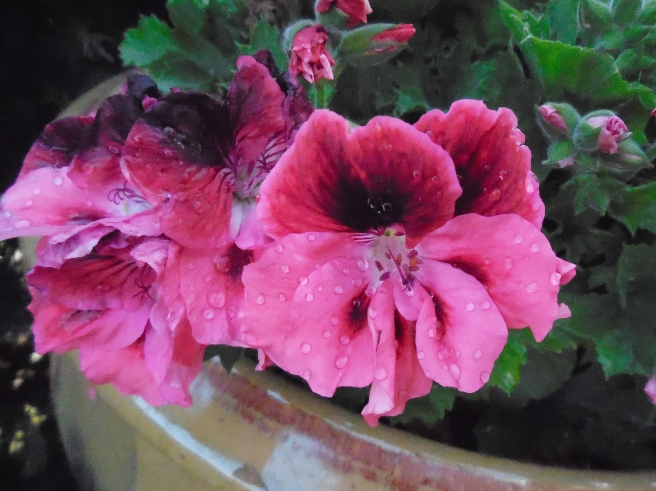Martha Washington Geranium in my big front porch pot.
