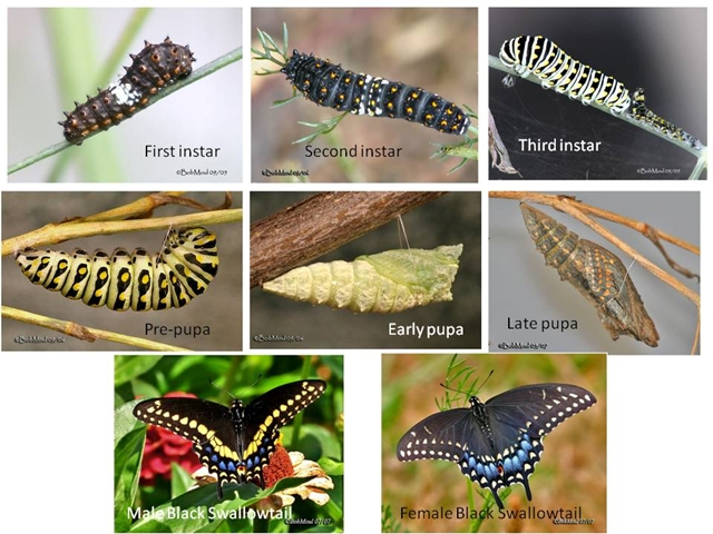 Black Swallowtail Development