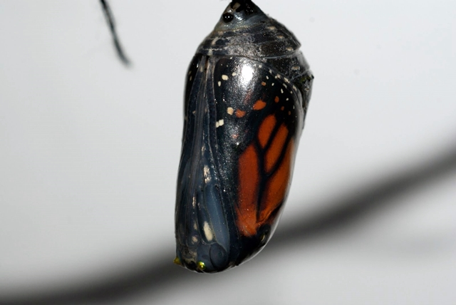 A Monarch chrysalis will turn transparent right before the butterfly ecloses (emerges).