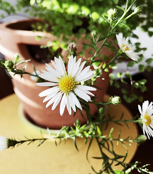 Such a homey, simple flower!