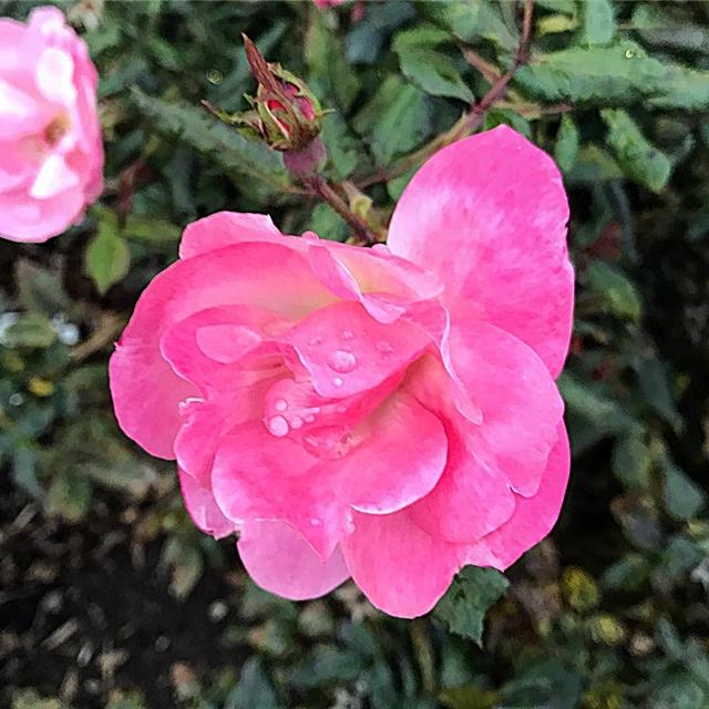 Roses in November!